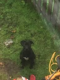 american eskimo dog giving birth beautiful american bulldog blackburn lancashire pets4homes