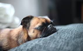 sleeping dog wallpaper 6809874