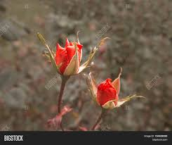 Bright Color Setting Two Scarlet Roses In Autumn Garden Dying Plants Bright Lit By