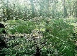 hawaiian hapu u tree fern plant grow hawaii ebay