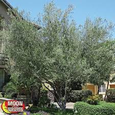 fruitless olive olive tree moon valley nurseries