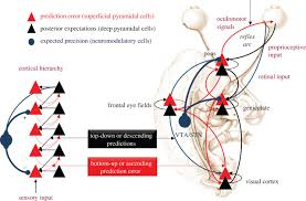 The Anatomy Of The Human Brain Active Interoceptive Inference And The Emotional Brain