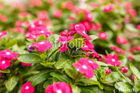 vinca flowers beautiful vinca flowers in a garden at summer day