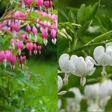 Bleeding Hearts Flowers Bleeding Hearts Planting Guide U2013 Easy To Grow Bulbs
