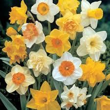 uk gardens pack of 100 mixed daffodil spring flowering garden