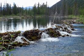 wisconsin wildlife services removes 100 u0027s of beaver dams each year