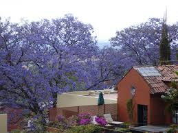 mornings in san miguel de allende u2026with the jacarandas in bloom