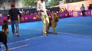 belgian sheepdog price in india very big german shepherd dogs in chennai dog show 2015 youtube