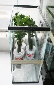 red mangrove propagules in semi closed terrarium caterpillar