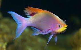 freshwater fish pelvicachromis pulcher freshwater fish 33705 goldfish animal