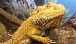 5 pet lizards beginners lizard types