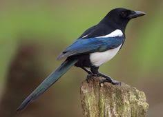 Magpie Birds In Backyards Magpie 1 Magpie Bird And Eurasian Magpie