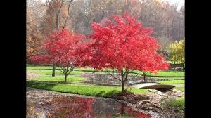 japanese maple tree bloodgood