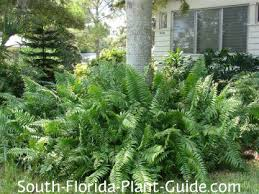 macho ferns in a landscape florida plant guide pinterest