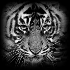 tiger cub black white re work if anyone is interested flickr