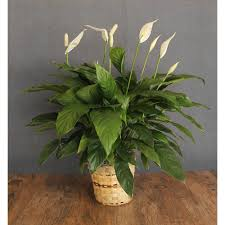 peace lilly peace the blooming idea