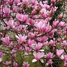 magnolia flowers magnolia seed magnolia tree magnolia flowers seed for home