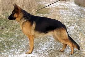 belgian sheepdog vs belgian malinois german shepherd champion greer at cher car kennels