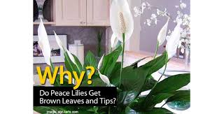why do peace lily get brown leaves and tips
