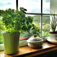 herbs indoors growing herbs indoors how to grow herb plants indoors inside