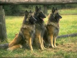 belgian shepherd sydney 8 best belgian shepherd tervuren images on pinterest belgian