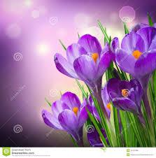 spring flower crocus spring flowers royalty free stock image image 24125386