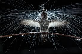 unlocking the secrets behind the hummingbird u0027s frenzy