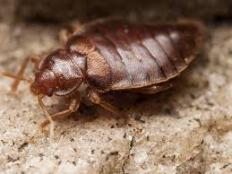 Bed Bug Home Remedies 12 Surprising Home Remedies To Prevent Bed Bugs Organic Facts