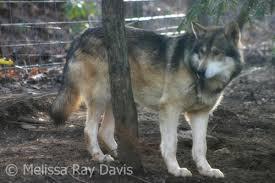 australian shepherd vs husky topic is your