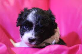 australian shepherd yorkie mix for sale view ad australian shepherd poodle toy mix puppy for sale