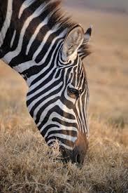 335 best zebras images on pinterest wild animals animals and zebras