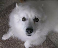 types of american eskimo dogs the american eskimo is a stunning small to medium size nordic