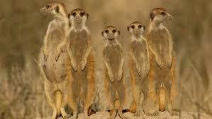 meerkat group ngsversion 1396530590985 jpg