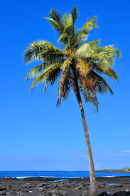 single palm tree on kona coast island of hawaii hawaii