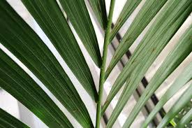 indoor palm how to sprout palm trees from seed step by step