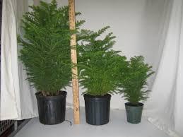 norfolk island pine crooker u0027s plant master