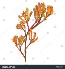 orange kangaroo paw vector stock vector 514142698 shutterstock
