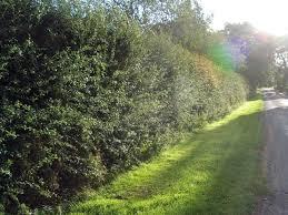 planting a native hedge 10 hawthorn hedging plants 4 5ft hedges native hawthorne