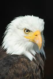 black and white eagle free stock photo