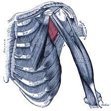 Innervation Of Supraspinatus Subscapularis Muscle Anatomy Origin Insertion Action