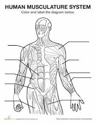 25 best muscular anatomy for pilates images on pinterest human