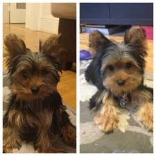 stunning yorkie hair cuts pet grooming headquarters 72 photos 143 reviews san