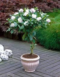 Gardenia Topiary These Gardenia Trees Are A Great Addition To Any Patio They Fill