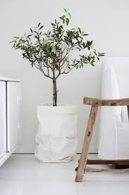 guide to growing olive trees indoors homesthetics inspiring