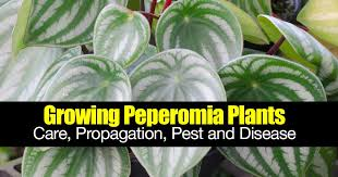 growing peperomia plants care propagation pest and disease