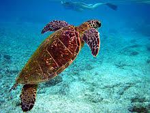 imagenes tortugas verdes chelonia mydas wikipedia la enciclopedia libre