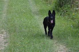belgian sheepdog 101 black import german shepherd
