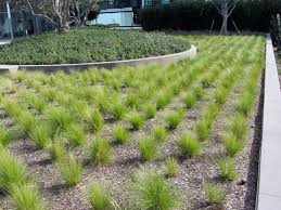 mexican feather grass green meadow growers