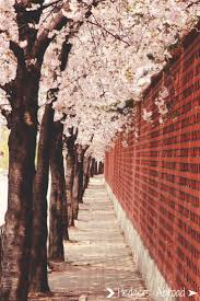 best 25 cherry blossom season ideas on pinterest japan cherry