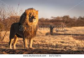 male lion wallpapers lion stock images royalty free images u0026 vectors shutterstock